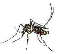 """""""Mosquito,"""